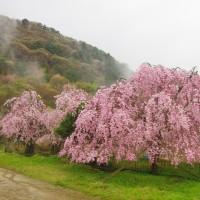 速報 嵯峨子城跡のしだれ桜