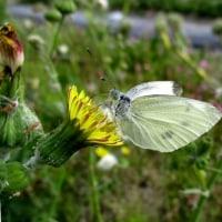 のげしの花に紋白蝶