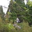 桐の花とエゴノキの花が咲きました