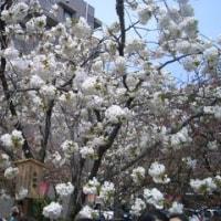 造幣局桜の通り抜け2016