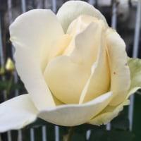 家庭菜園・園芸2016(2) バラ ボタン ダリア
