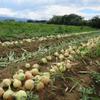 バッハオニオンの収穫が始まりました