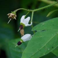 カンザシイヌホウズキ【簪犬酸漿】の花など