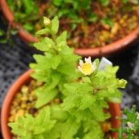 ヤクシマイッスンキンカの開花