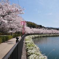過去の写真~桜(広島県庄原市 上野公園)