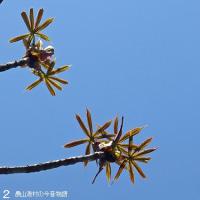 青空に鮮やかトチノキ新葉