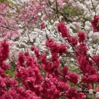 昼神温泉 花桃だよ