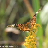 ツマグロヒョウモン(蝶)