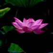 2.ハスの花
