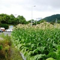幻の花~タバコの花