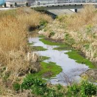 きれいなコブシ見たあと、寺沢川でフサモの集団発生にびっくり、春の休日です