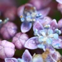 ゴーヤと紫陽花と・・・