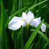 満開のバラと紫陽花と花菖蒲