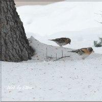 雪上のアトリ