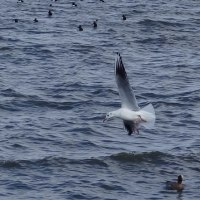 琵琶湖のユリカモメ