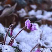 雪に咲く、野生のシクラメン