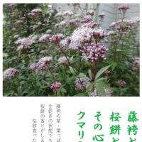秋の七草・・・・・藤袴