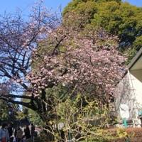 上野公園入り口の桜