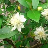 庭の花(ギンバイカ)