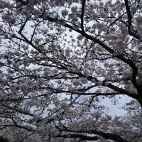 奈良市佐保川沿い(図書情報館前あたり)の桜は超きれい!