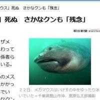 「メガマウス」死ぬ さかなクンも「残念」 = 深海魚なのに <人間って トロイなぁ~> どこ迄も人間目線だもんなぁ~