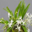 富貴蘭の花 12