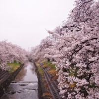 🌸 4月8日今朝の高田千本桜 🌸