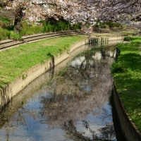 2017桜便り - 吹上