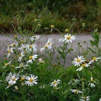 晩秋の野に咲き残る野菊見て