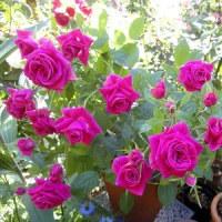 ばら・バラ・薔薇