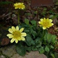 キンポウゲ科の小花たち