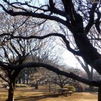 東京都立小金井公園の2017年梅林・・咲き始め