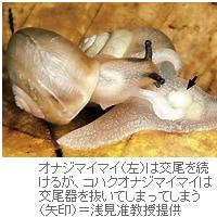 カタツムリ、交尾器の微細な模様で種を識別=信州大学