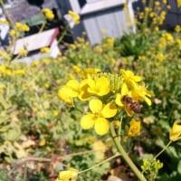 日本ミツバチ ブンブン