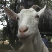 さあ!古代小麦の種蒔きします!!ー2016山羊さんの収穫祭をかねてー