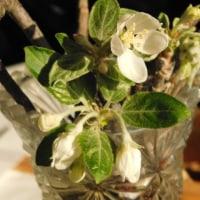 林檎の花が咲いた!