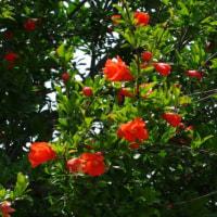 草むらの中に咲くザクロの花、紅一点