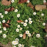 オキザリス   太陽光の花❓
