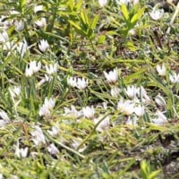 さいたま市桜区の南端にある桜草公園では、ニホンサクラソウの花が咲き始めました