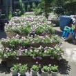 サフィニアの花の最盛期を迎える