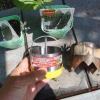 ゴーヤの苗を3株定植しました