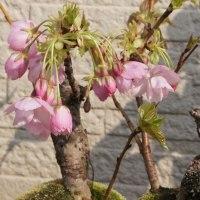 盆栽の桜が「満開」!・・・昨年より一週間遅れです。