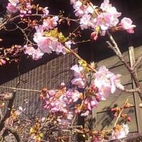 小江戸のサクラ色