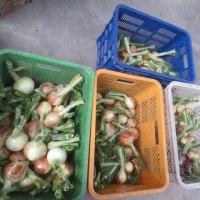 玉ねぎ収穫本格化
