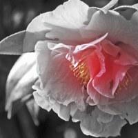 3月25日  赤椿のカラ黒写真