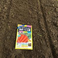 ジャガイモ種芋の植え付け