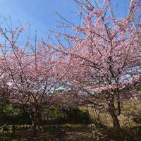 河津桜  (Vol.1425)