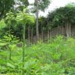 オオウバユリの黄緑の群落 百合が原公園日本庭園で満開