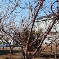 梅の桜の花がほぼ満開でした