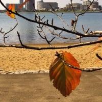サクラの葉 ビーチ そして林立するアパート 香椎浜